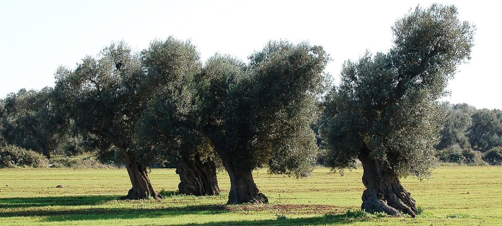 Passeggiata fotografica in un oliveto monumentale della piana degli olivi secolari e millenari di Fasano