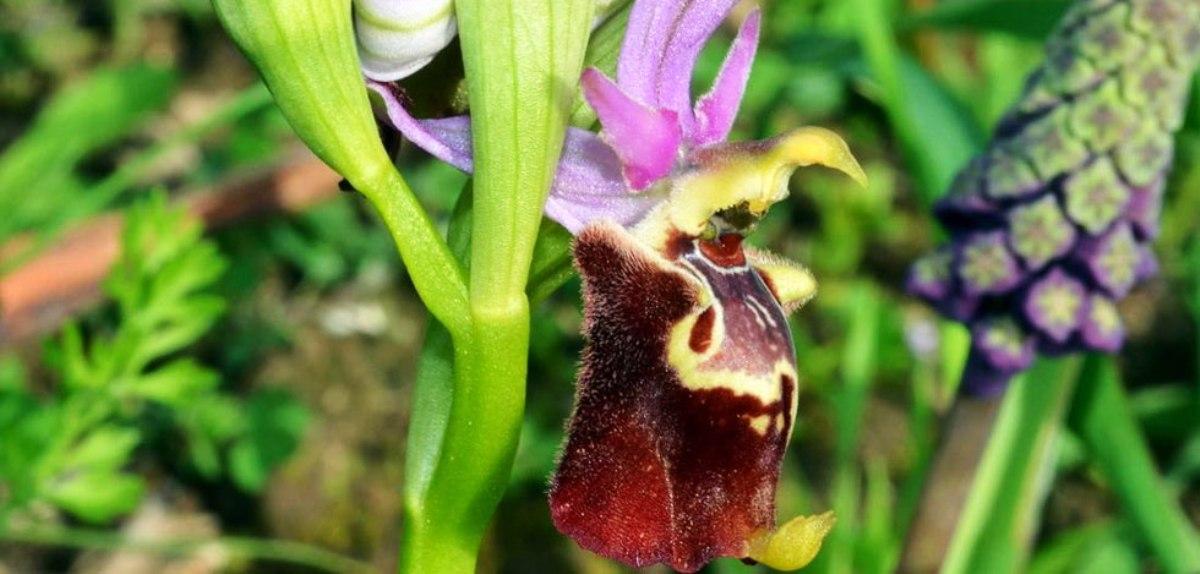 Orchidee selvatiche pugliesi